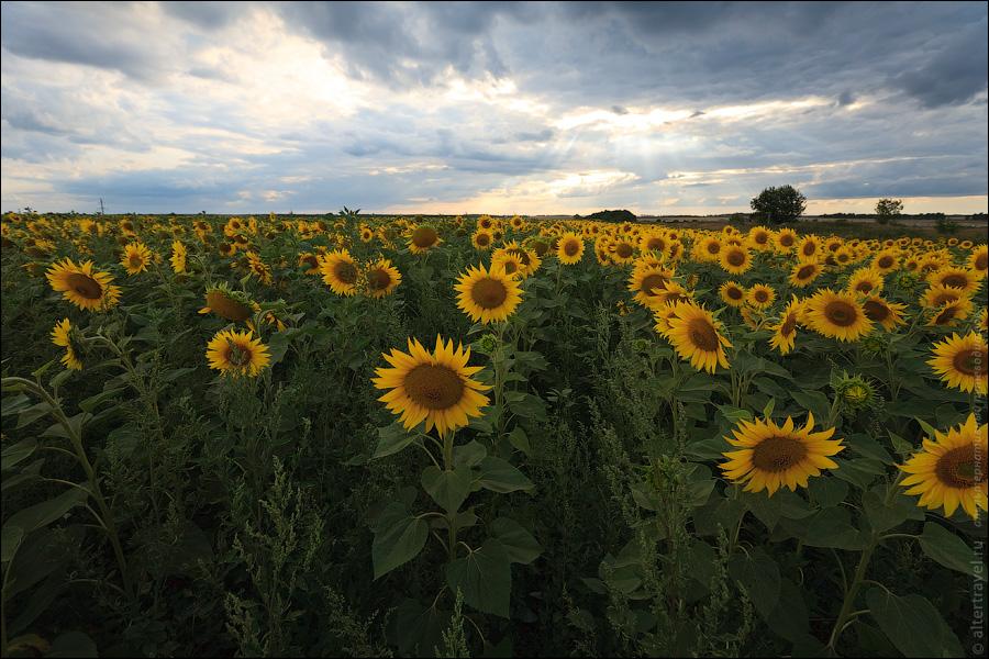 13) Рядом с Галичьей горой поле подсолнухов.