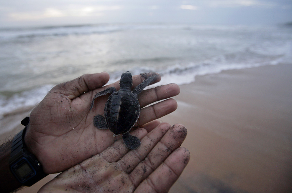 11. Человек держит 3 дневного детеныша зеленой черепахи, прежде чем отпустить его в океан на инкубаторной станции в Косгоде на севере Галле, Шри-Ланка, 7 июля 2009 года. Из восьми видов черепах во всем мире пять из них живут  на Шри-Ланке. Инкубационные станции для черепах вдоль побережья предоставляют заработок для людей, которые за ними следят, а также помогают бороться с уничтожением черепашьих яиц. (REUTERS/Vivek Prakash)