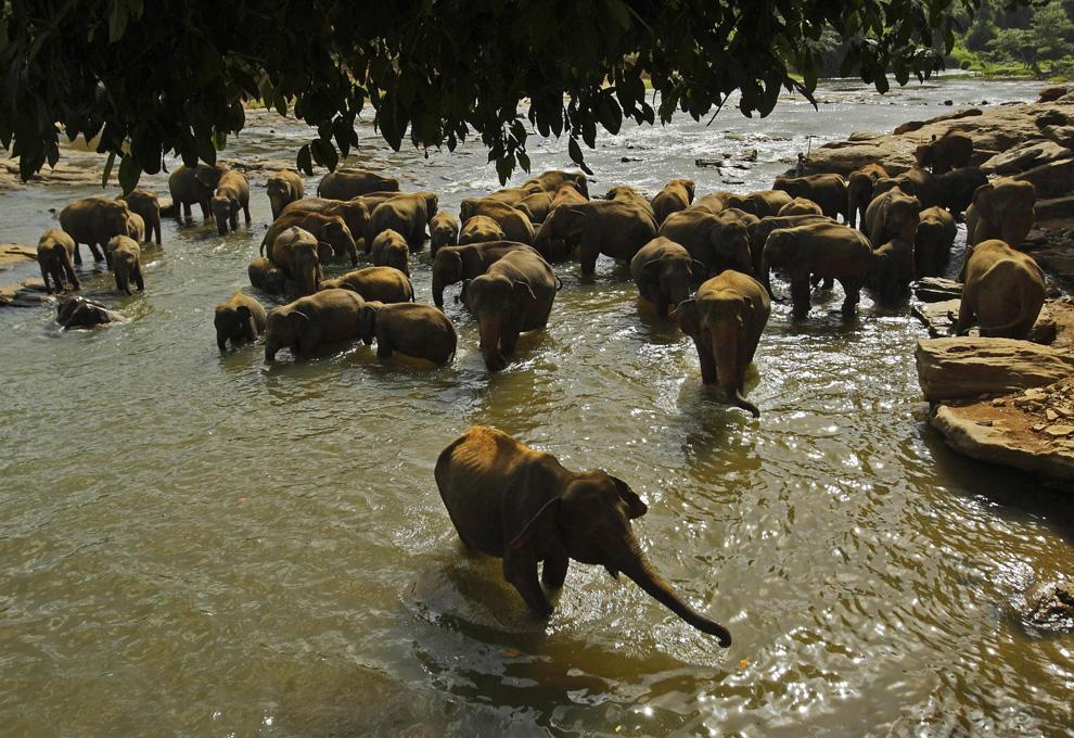 14. Стадо слонов купается в реке недалеко от приюта для слонов в Пиннавале, Шри-Ланка, вторник, 28 июля 2009 года. (AP Photo/Gurinder Osan)