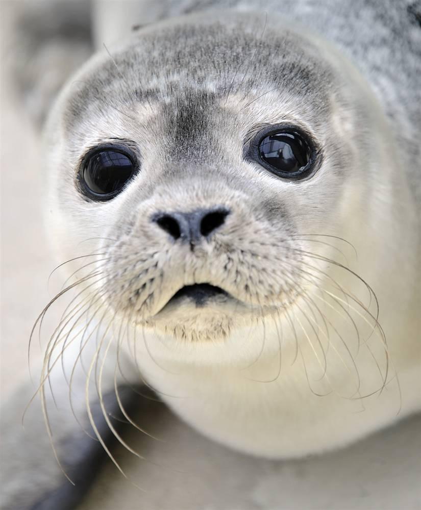 1) Тюлененок лежит рядом с бассейном на селекционной станции в Нордайхе, северная Германия. Вот уже 22 года смотритель Фриц Рабенштайн выращивает брошенных детенышей тюленя, прежде чем снова вернуть их в естественную среду обитания.