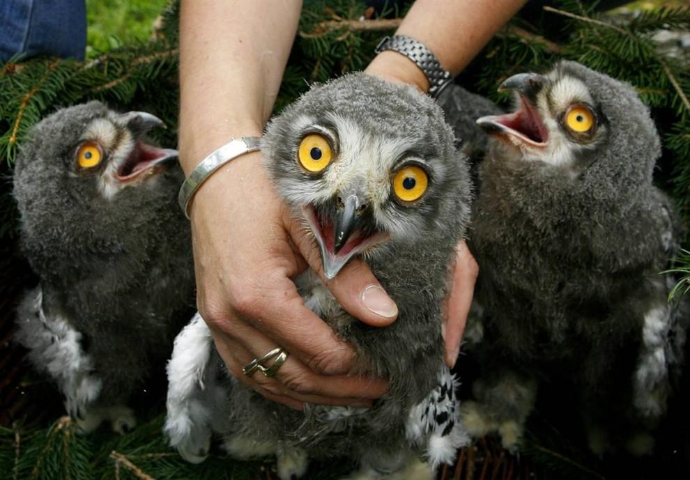 4) Четыре птенца снежной совы сидят в корзине в парке Гайзельвинд, Германия.