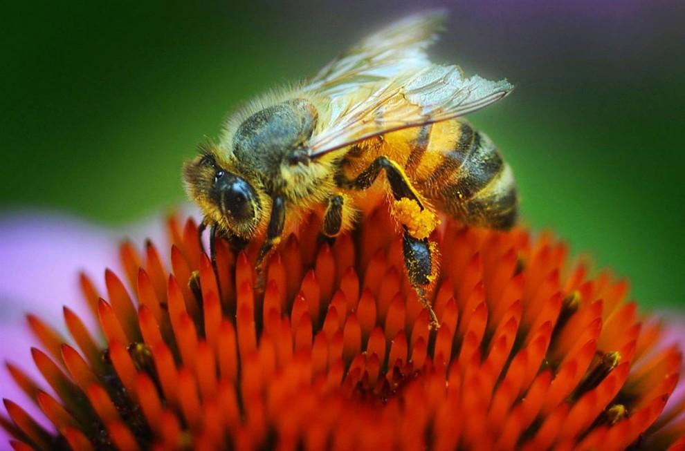 6) Пчела сидит на цветке эхинацеи в саду в Салине, Кан.