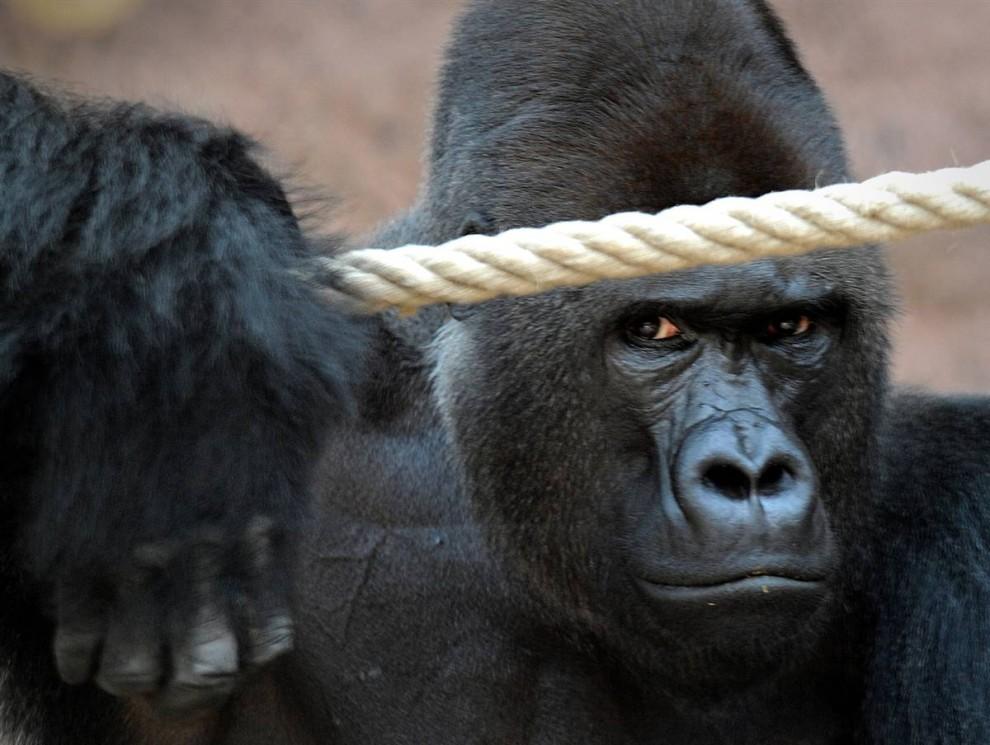 8) Ричард, самец гориллы, в своем загоне в зоопарке Троя в Праге.