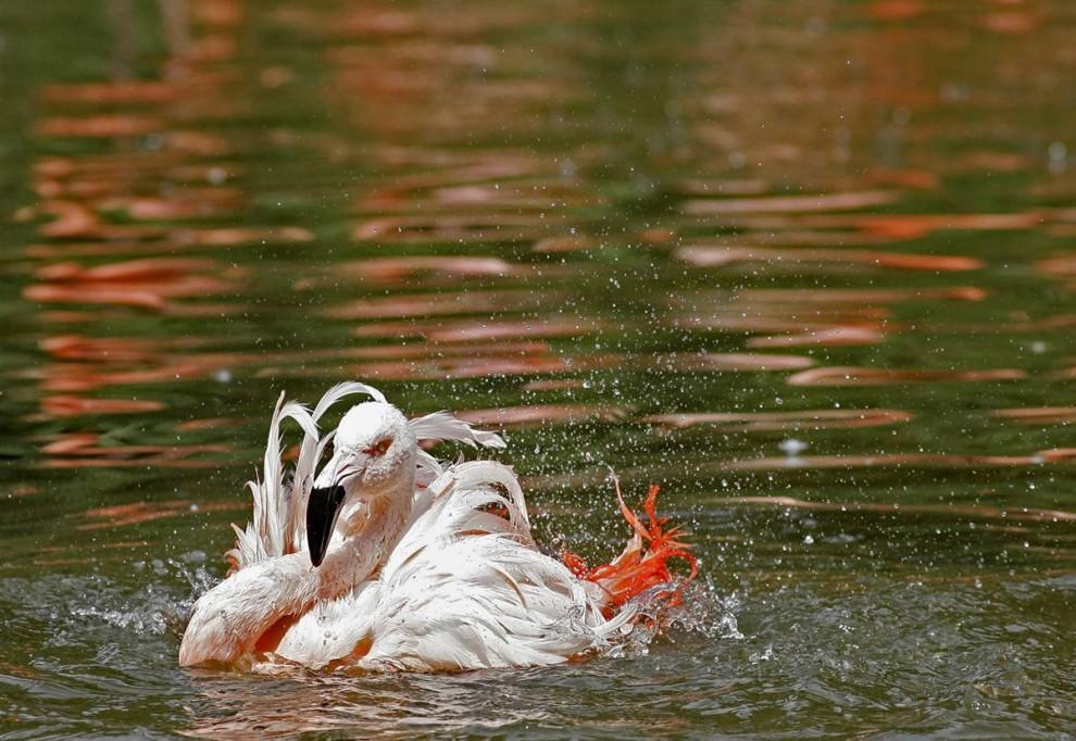 9) Фламинго охлаждается в пруду в зоопарке Праги.