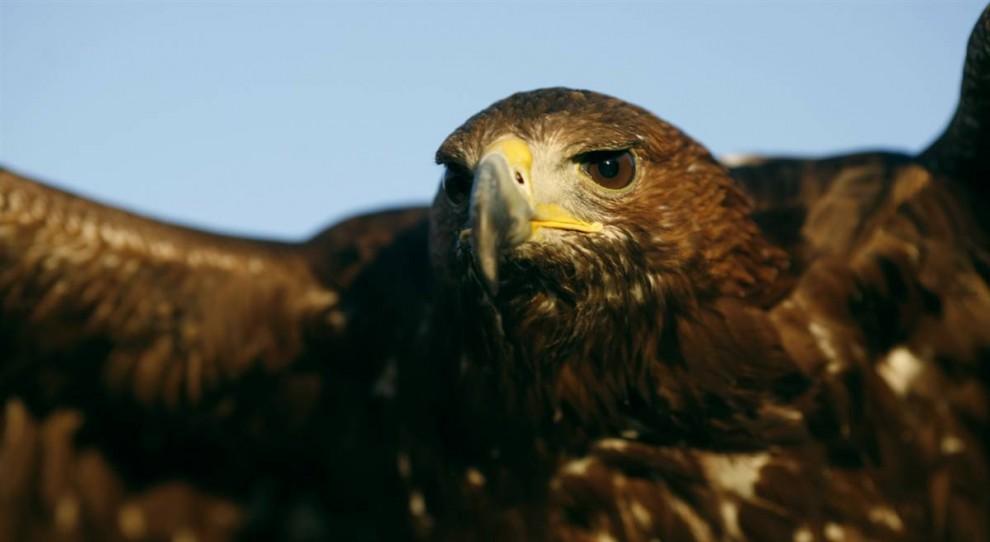 10) Золотой орел на международной ярмарке птиц в Гильене, Испания.
