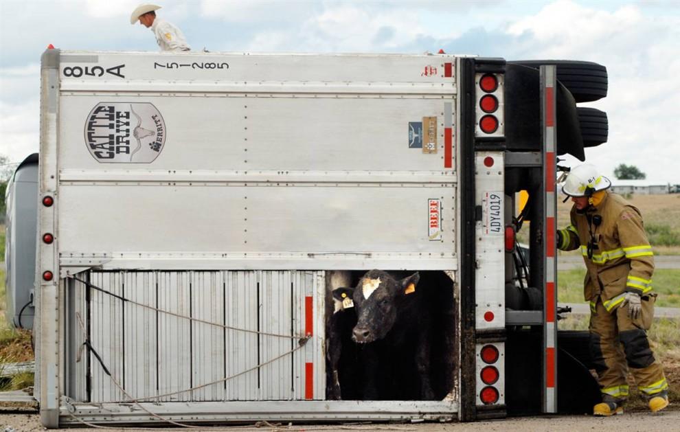 15) Пожарник пытается выманить перепуганную корову из грузовика, перевернувшегося на дороге в городе Розвелл Нью-Мехико.