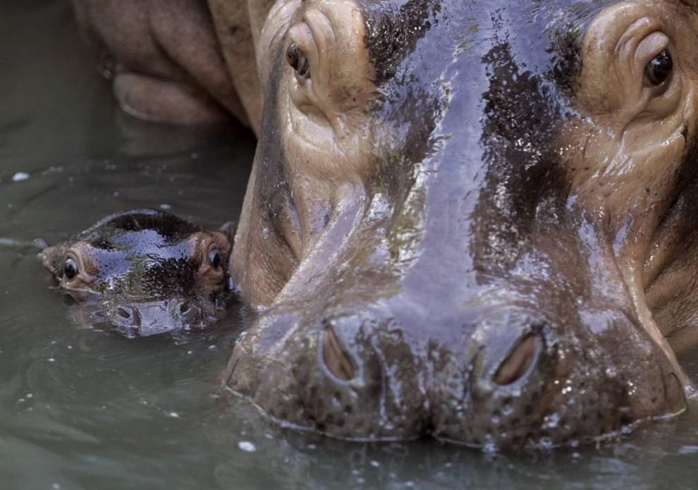 1) 12-дневный детеныш бегемота плавает рядом со своей матерью по кличке Чомби, в Малайзийском Национальном зоопарке в Куала-Лумпуре. Этому малышу еще не дали кличку. (Bazuki Muhammad/Reuters)