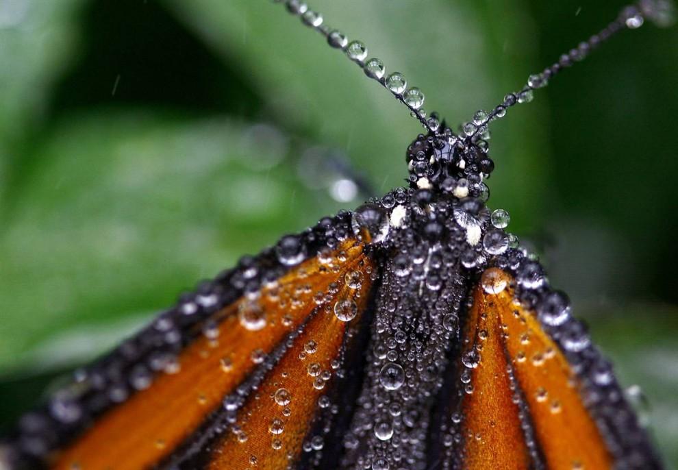 3) Бабочка-монарх покрытая капельками воды охлаждается в разбрызгивателе павильона с бабочками Общественного образовательного центра Элктон в городе Элктон, штат Орегон (Robin Loznak/The News-Review)