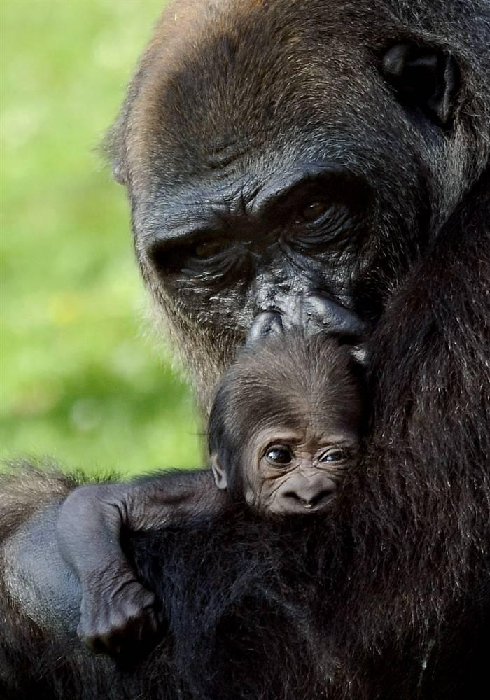4) Гана, самка гориллы, держит своего детеныша в вольере зоопарка в немецком городе Мюнстер. Детеныш по кличке Клавдия родился накануне в зоопарке. (Philipp Guelland/AFP - Getty Images)