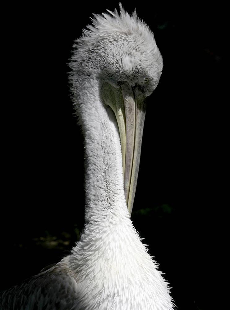 7) Пеликан в своем вольере в солнечный день в Зоопарке Шонбрюнн в Вене, Австрия. (Leonhard Foeger/Reuters)