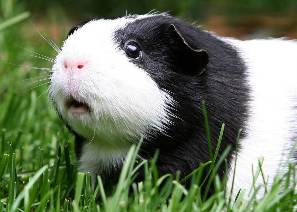 9) Морская свинка по кличке Орео сидит в траве в зоопарке Сан-Франциско. (Justin Sullivan/Getty Images)