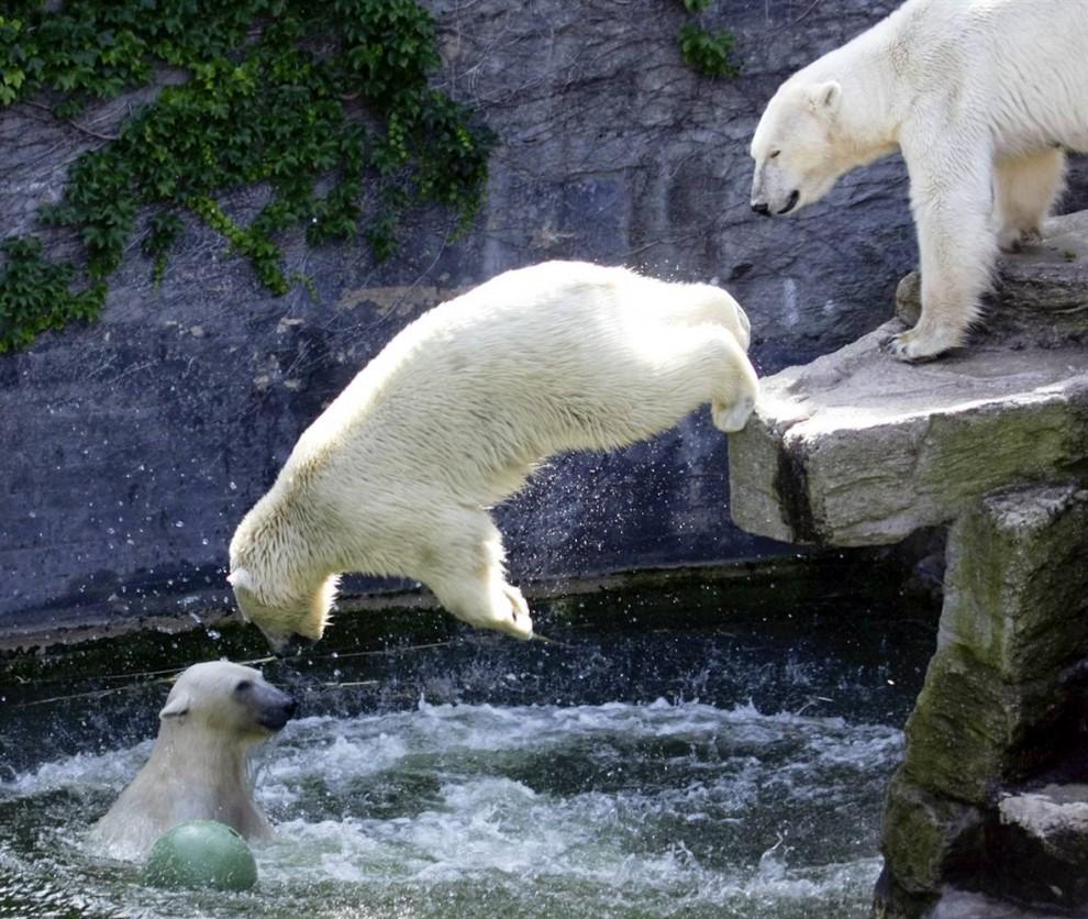 10) Полярные медведи купаются в своем вольере в солнечный день в Зоопарке Шонбрюнн в Вене, Австрия. (Leonhard Foeger/Reuters)