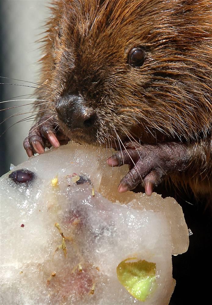 11) Бакли, 9-летний бобер в зоопарке города Такома, штат Вашингтон, вгрызается в большой ледяной леденец из фруктов, овощей и сока, чтобы хоть немного охладится при зное. (Lui Kit Wong/The News Tribune via AP)