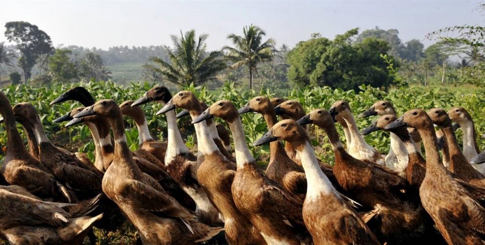 3. Утки направляются к озеру фермерской деревни в Теманггунге, Центральная Ява. Птицеводство в Индонезии стремительно развивается, в то время как меры против птичьего гриппа используются примитивные. (Romeo Gacad/AFP - Getty Images)