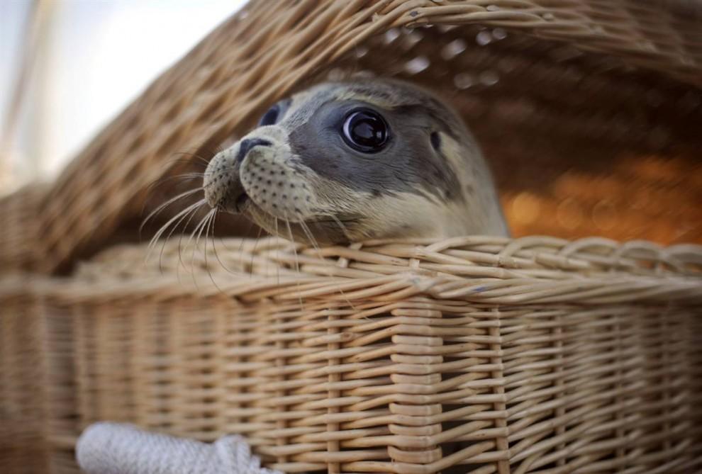 4. Калли выглядывает из корзины на борту лодки в Нордайхе, Германия. Пятерых малышей тюленей, которых растили на специальной селекционной станции в Нордайхе, отпустят на волю. (Nigel Treblin/AFP - Getty Images)