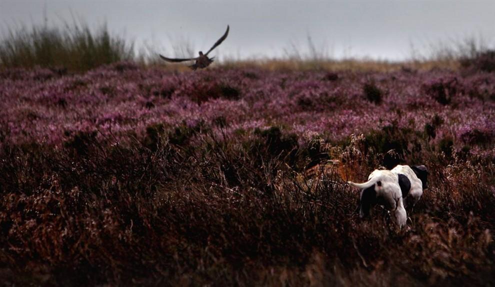 5. Собака преследует тетерева в зарослях вереска в Хорсапкле, Шотландия, перед открытием сезона охоты 2009. (Jeff J. Mitchell/Getty Images)