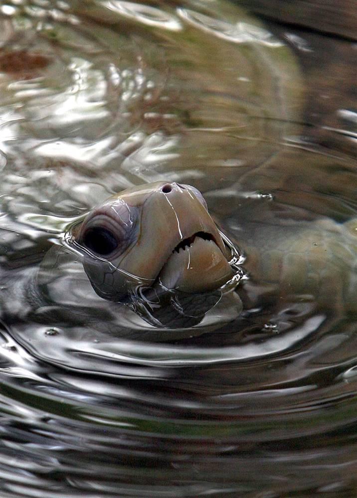 6. Зеленая морская черепаха плавает в пруду в специальном центре для черепах в Хиккадуве, Шри-Ланка. Примерно три года спустя, окончательно созрев, морские черепахи возвращаются на землю поздно ночью, чтобы сделать гнездо. (Harish Tyagi/EPA)