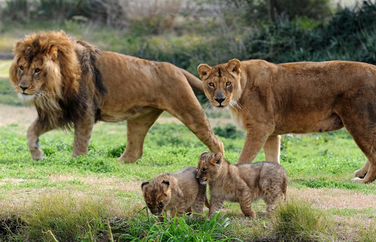 картинка шагающих львов продовольственной вещевой