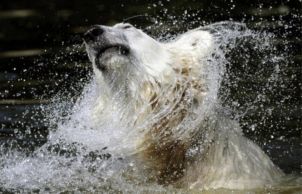 8. Полярный медведь Кнут принимает ванну в своем вольере в зоопарке в Берлине, Германия. Согласно немецкой газете, Кнут скоро избавится от одиночества, так как к нему присоединится полярная медведица Джианна из Мюнхена. Однако ни один из двух зоопарков пока еще не подтвердил эту информацию. (Rainer Jensen/EPA)