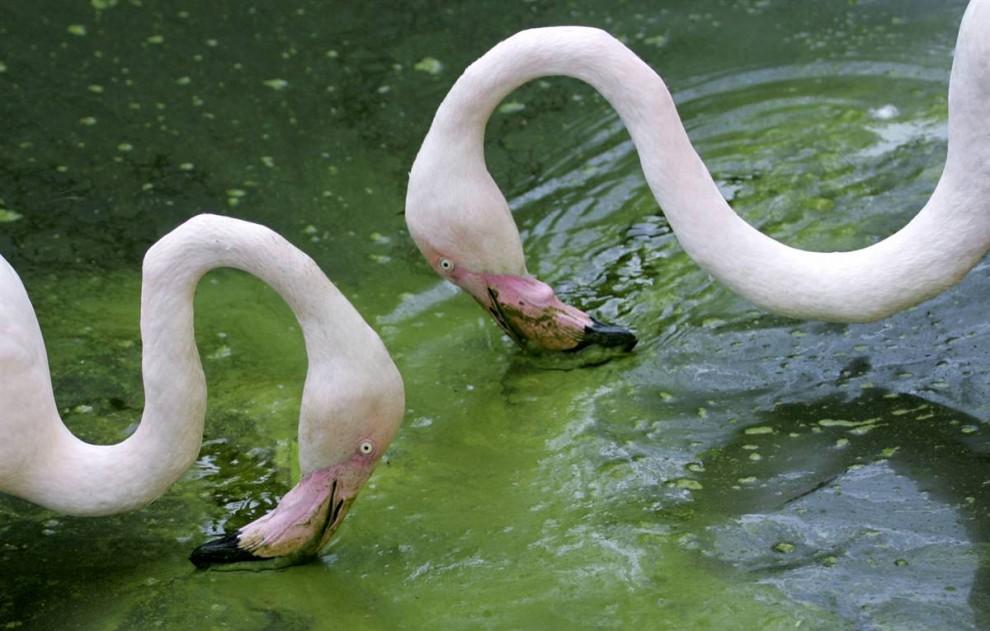 9. Два фламинго ищут пищу в своем вольере на свежем воздухе в зоопарке «Шёнбрунн» в Вене. (Lilli Strauss/AP)