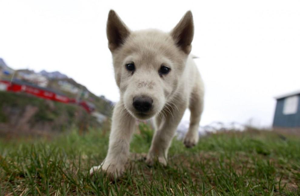 11. Щенок лайки желает поближе познакомиться с посетителем в городе Тасиилак, Гренландия. (Bob Strong/ReutersBob Strong/Reuters)
