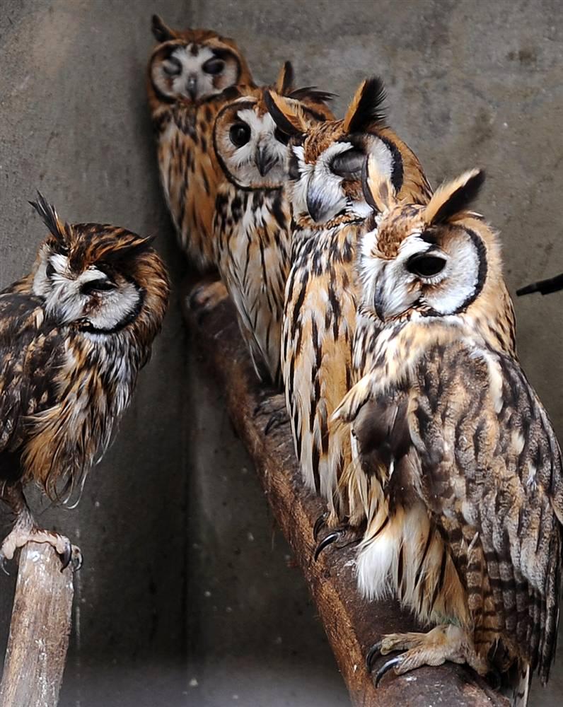 14. Группа полосатых сов отдыхает вместе в больнице для животных в зоопарке «Нитерой» в Бразилии. (Vanderlei Almeida/AFP - Getty Images)