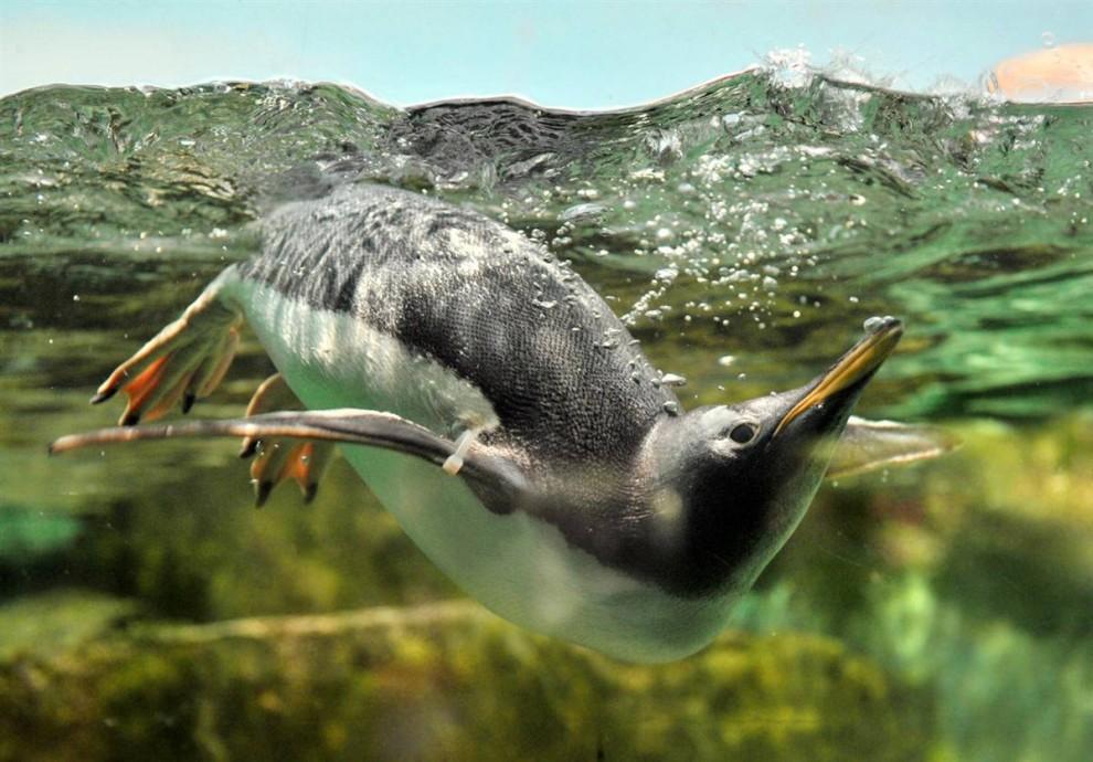 16. Пингвин охлаждается в воде в своем вольере в зоопарке Франкфурта, Германия. (Boris Roessler/EPA)