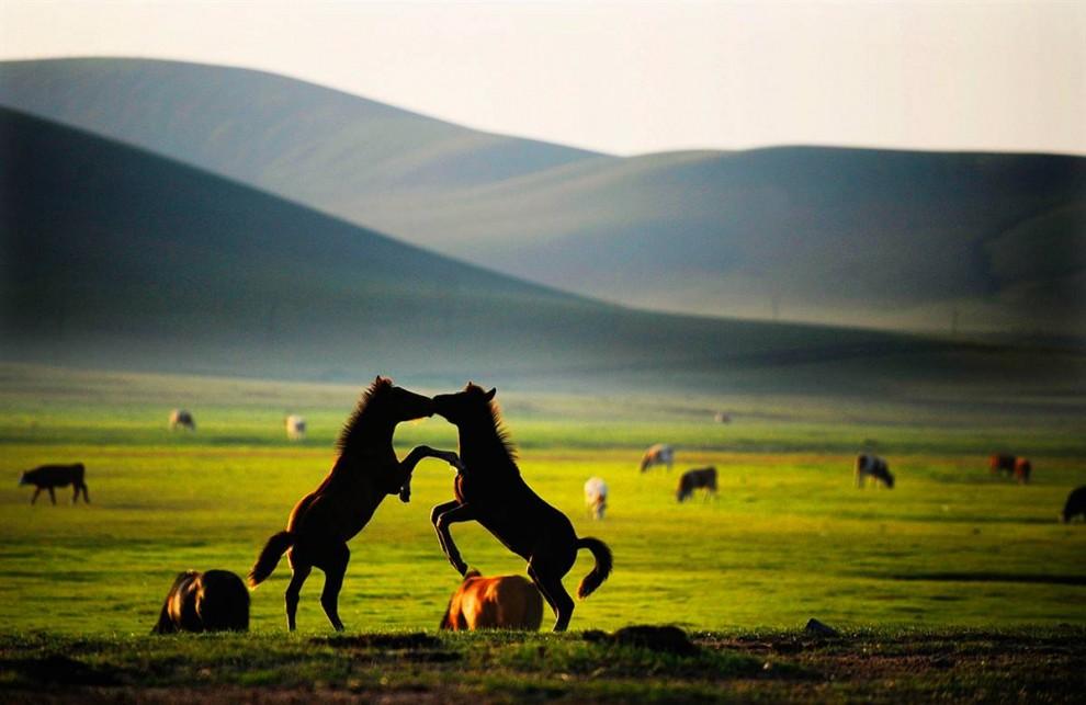 1) Кони дерутся на пастбище вблизи китайского города Чифэн. (Wu Xiaoling/Zuma Press)