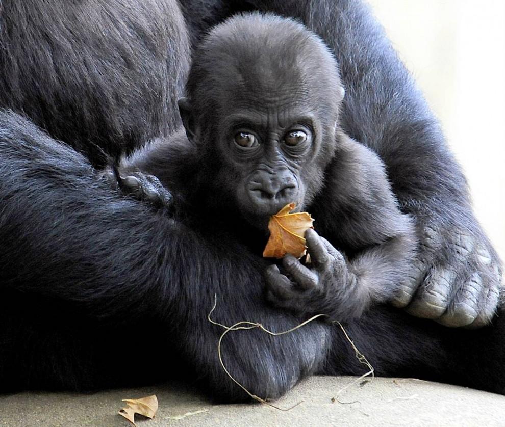 2) Семимесячный Кибиби сидит на коленях своей матери Мандары, обитающие в Смитсоновском Национальном зоопарке  в Вашингтоне, округ Колумбия. (Karen Bleier/AFP - Getty Images)