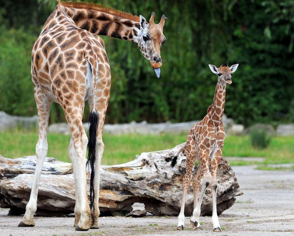 3) 6-дневный жирафенок стоит со своей матерью в зоопарке Честер в английском городе Чешир. (Andrew Yates/AFP - Getty Images)