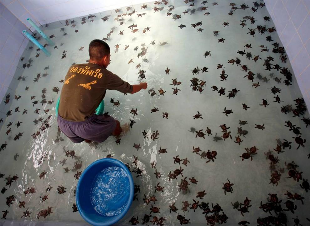 4) Матрос тайского флота собирает черепах бисса, чтобы выпустить их обратно в море в Центре защиты морских черепах Королевского тайского флота в Саттахип, провинция Таиланда Чонбури. (Chaiwat Subprasom/Reuters)