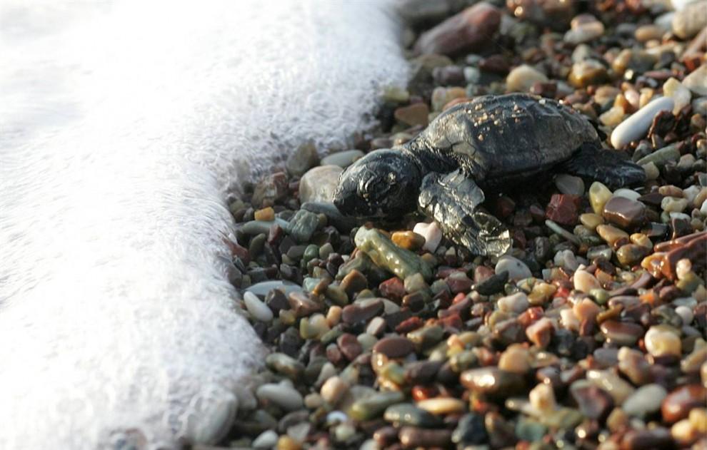 5) Новорожденная головастая морская черепаха ползет в сторону моря в заливе Кипариссия в Греции. (Orestis Panagiotou/EPA)