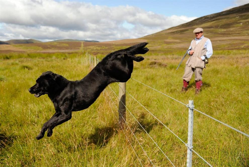 7) Собака прыгает через забор в день открытия сезона охоты на куропатку в Роттал Истейт, долина Ангус в Шотландии. (Russell Cheyne/Reuters)
