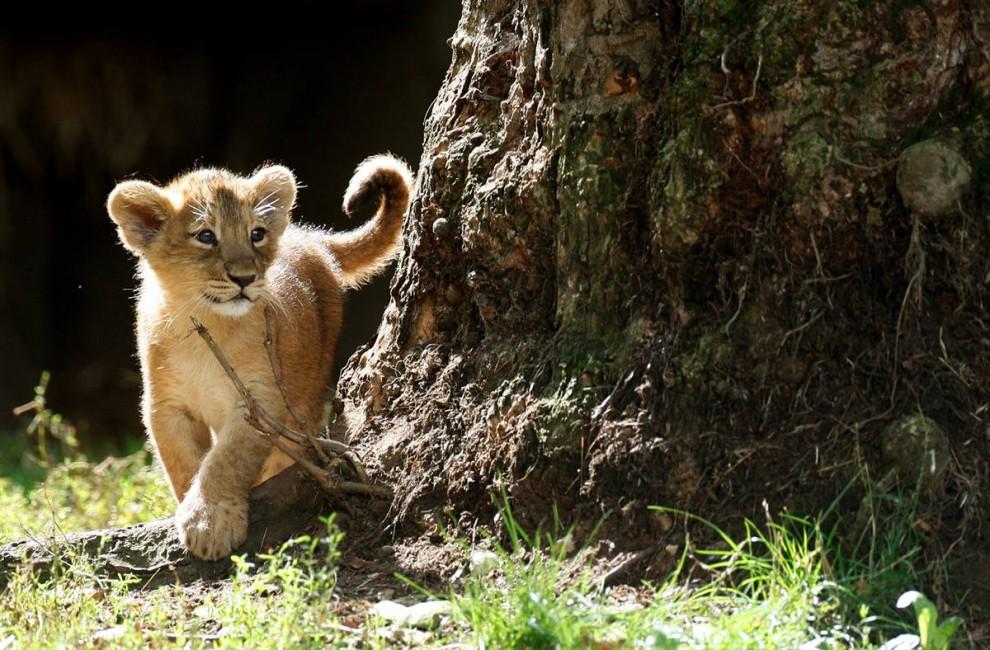 8) Один из двух 10-недельных азиатских львят впервые исследует вольер под открытым небом в лондонском зоопарке. Это – первые львята родившиеся в этом зоопарке за последние 10 лет. Их мать, Аби была последним детенышем, который родился в зоопарке в 1999 году. (Stephen Hird/Reuters)