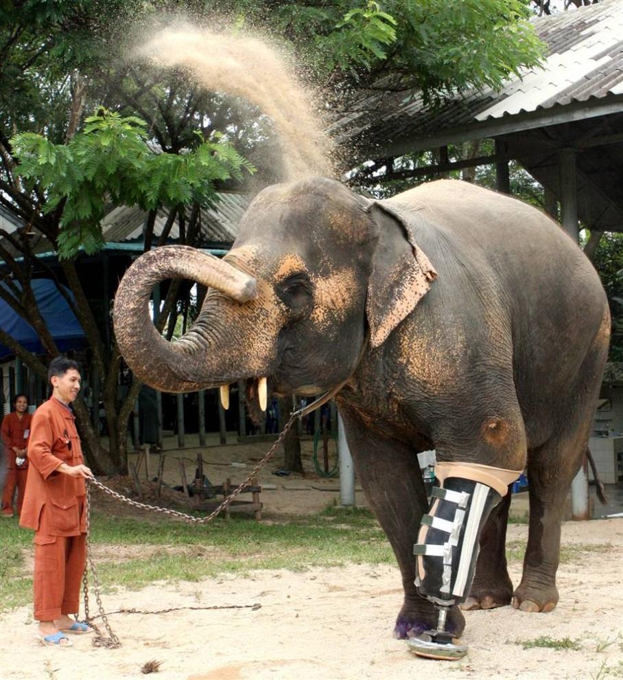 11) 48-летний слон по кличке Мотала с недавно поставленным протезом ноги в специальной больнице для слонов в провинции Лампанг, расположенной к северу от Бангкока, Таиланд. (Phichaiyong Mayerku/Reuters)
