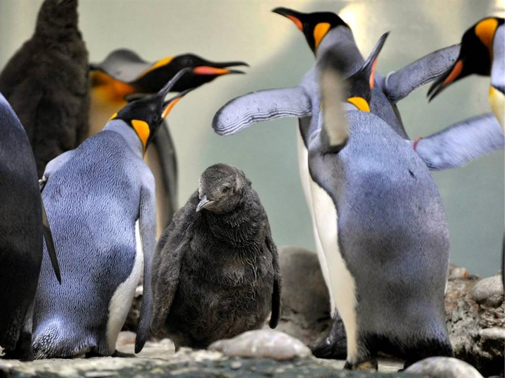 13) Взрослые королевские пингвины окружают самку в зоопарке в Базеле, Швейцария. (Georgios Kefalas/AP)