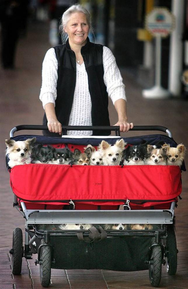 15) Робин Крук везет на прогулку своих 18 собак (все они на половину чихуахуа) в коляске для тройняшек в центре города Таранга, Новая Зеландия. (Mark McKeown/New Zealand Herald via AP)