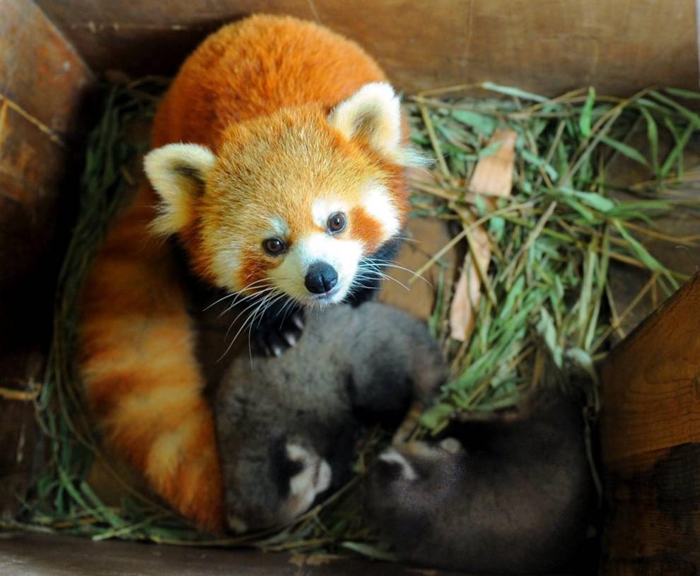 16) Красная панда со своими медвежатами в лесном зоопарке Хонгшан в Нанкине, столице восточной китайской провинции Цзянсу. (Fan Xiaolin/Zuma Press)