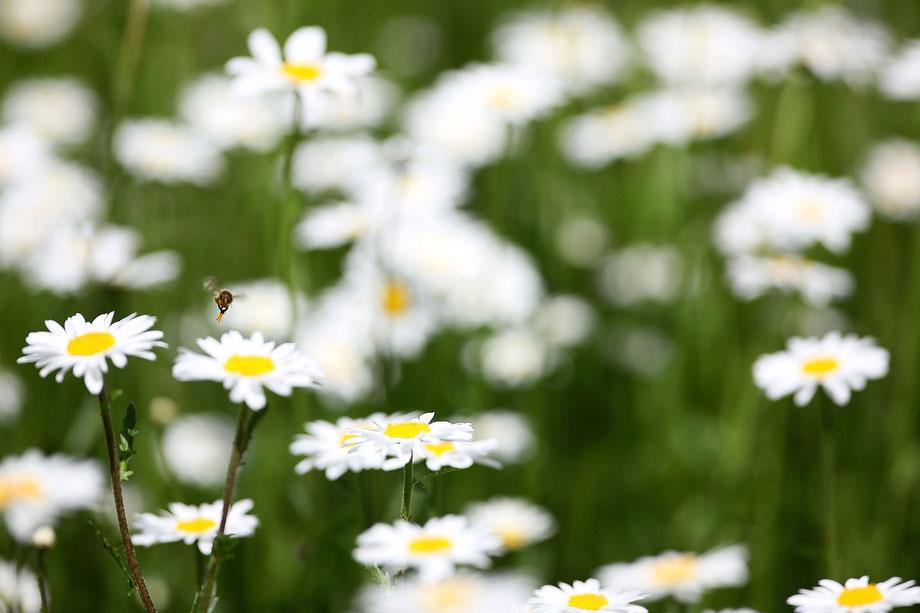 1) Пчела на цветке в залитом солнечным светом Парке Сент-Джеймс 1 июня 2009 года в Лондоне. (Photo by Dan Kitwood/Getty Images)