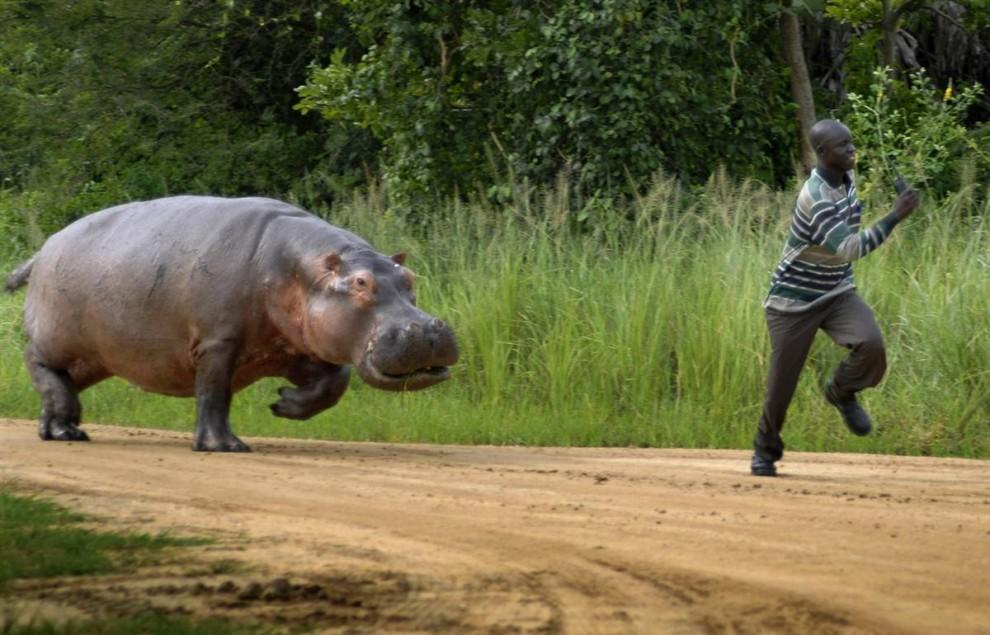 14. Африканский егерь убегает от двухтонного гиппопотама, которого он потревожил во время завтрака 24 августа. Егерь шел по дороге к Национальному парку Мурчисон, Уганда, и случайно побеспокоил это огромное животное. К счастью, зверь гнался за ним всего несколько метров, пока не решил, что уже показал, кто в доме хозяин. (Caters News / Zuma Press)
