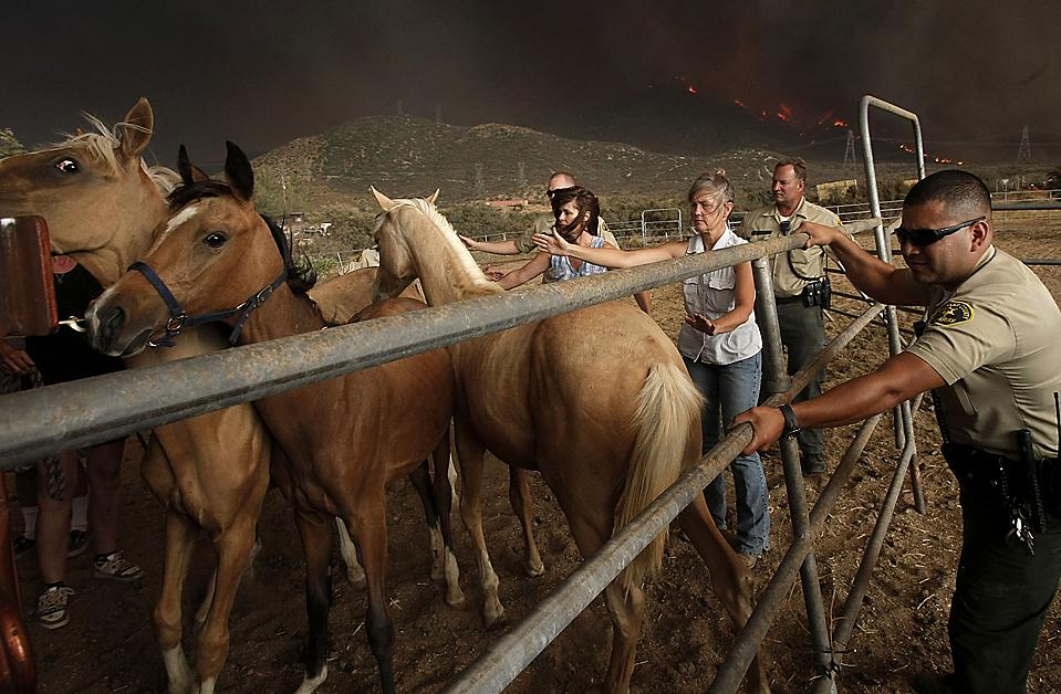 9) Заместители шерифа из ведомства лос-анджелеского округа и местные жители эвакуируют лошадей, во время лесного пожара на холмах над Эктоном, штат Калифорния. Двое пожарных погибли, после того, как съехали с проезжей части. Огонь угрожает тысячам домов и стал причиной обязательной эвакуации. (Dan Steinberg/Associated Press)