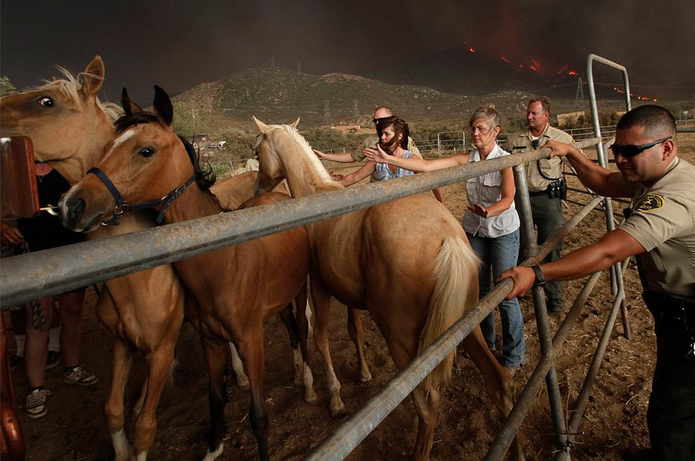 6. Заместитель шерифа округа Лос-Анджелес и жители города помогают эвакуировать лошадей на фоне разгоревшегося пожара на холме над городом Актон, штат Калифорния, в воскресенье 30 августа 2009 года. (AP Photo/Dan Steinberg)