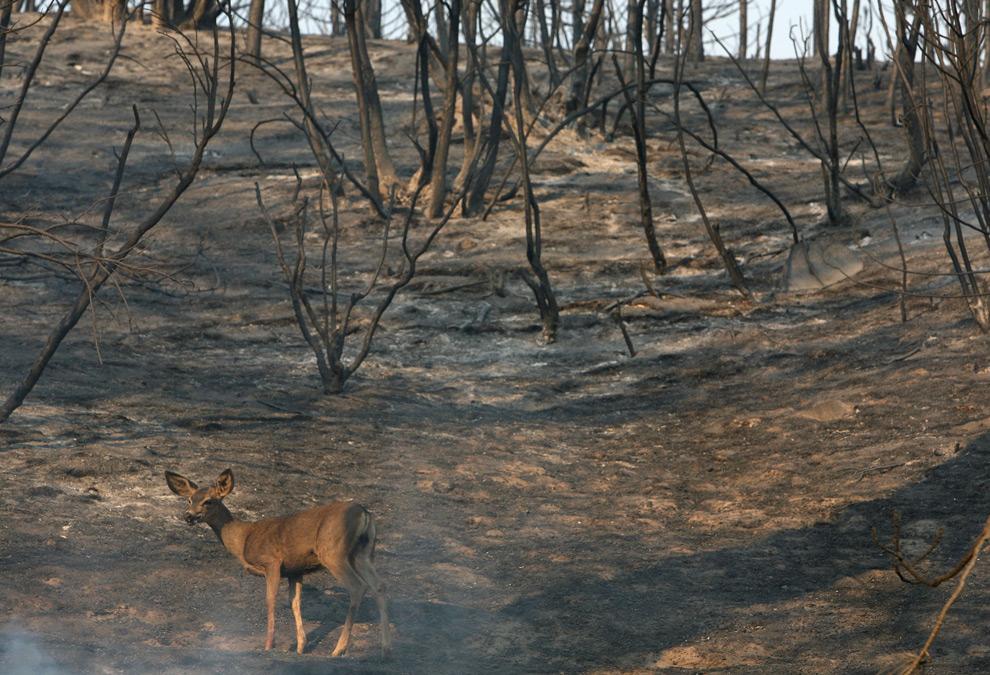 30. Олень идет по обугленному лесу на горе Глисон в Национальном Калифорнийском заповеднике 31 августа 2009 года недалеко от Актона, штат Калифорния. (Justin Sullivan/Getty Images)