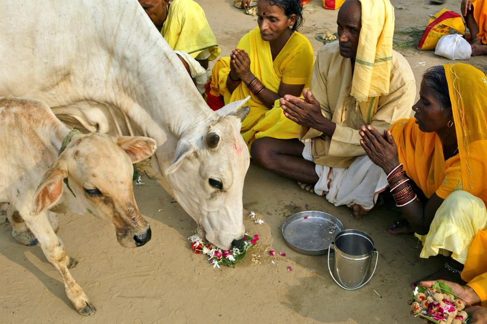 21. Индусы предлагают еду корове и теленку и молятся во время ритуала Пинд Даан, исполняемого в честь душ ушедших предков на берегу реки Ганг в Аллахабаде, Индия, в среду 2 сентября 2009 года. (AP Photo/Rajesh Kumar Singh)