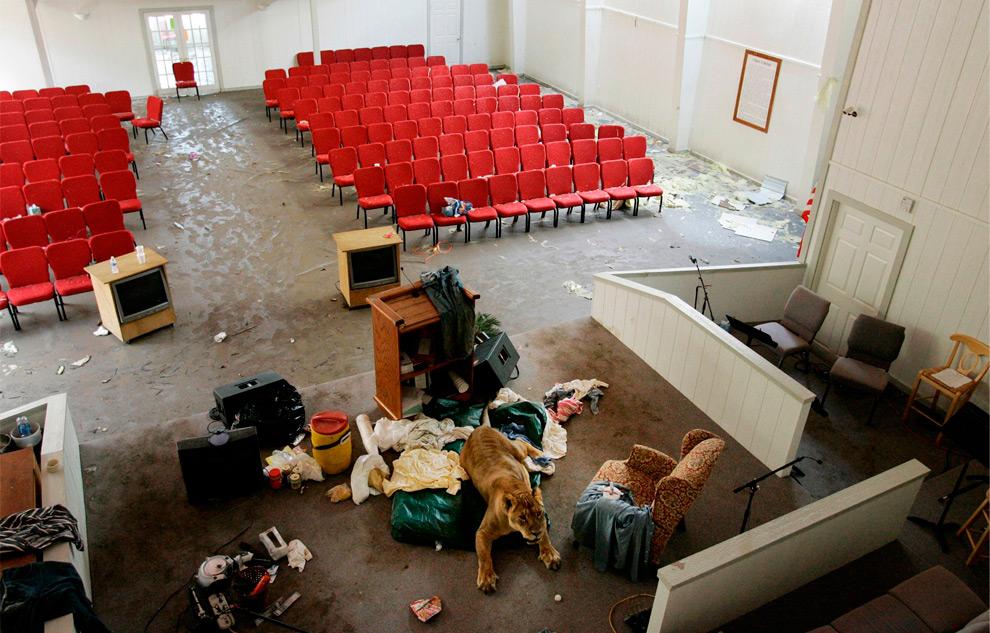 7а. Шакл – 11-летняя африканская львица – пережила ураган в первой баптистской церкви в Кирстал Бич, штат Техас, 16 сентября 2008 года. (AP Photo/Tony Gutierrez)
