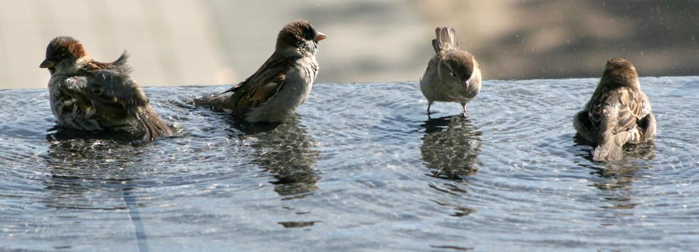 9) Воробьи купаются в одном из фонтанов в центре города Бремертон, штат Вашингтон в понедельник, 21 сентября.(AP/Kitsap Sun/Larry Steagall)