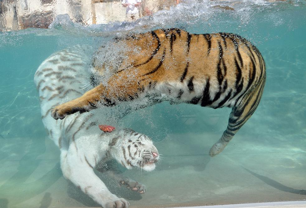 14) Налин (внизу), годовалый самец белого бенгальского тигра, и Акаши, годовалая самка бенгальского тигра в парке «Six Flags Discovery Kingdom»,  Валеджо, штат Калифорния во вторник, 22 сентября. Налин и Акаши большую часть дня проводят в бассейне из-за жары, которая сохраняется в этом регионе. (AP/Nancy Chan -Six Flags Discovery Kingdom)