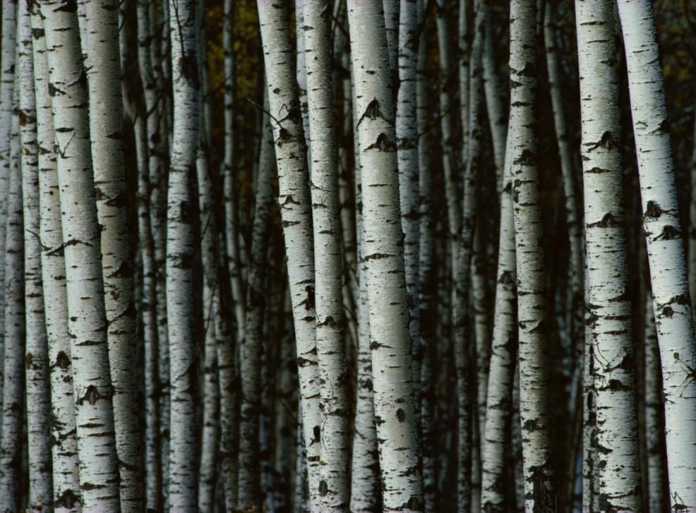 10) Белые березы в национальном парке Райдинг Маутейн, в провинции Манитоба, Канада.