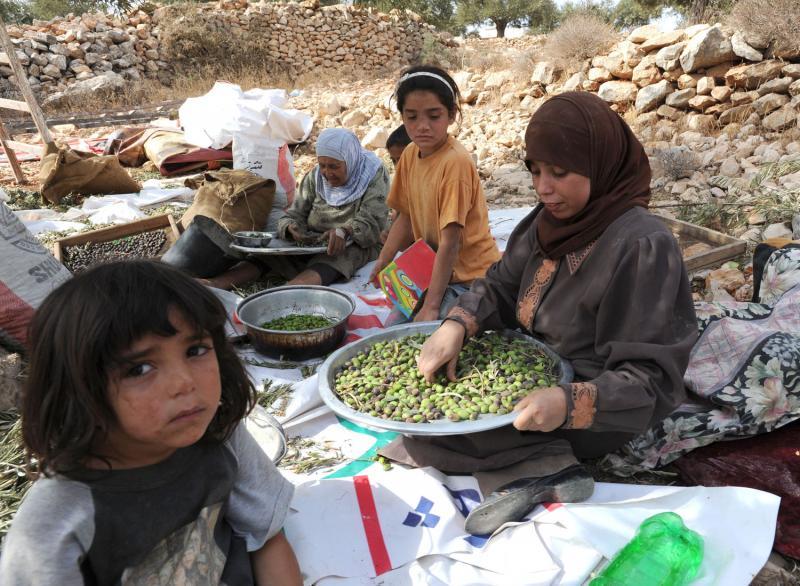 Сбор оливок на Западном берегу реки Иордан
