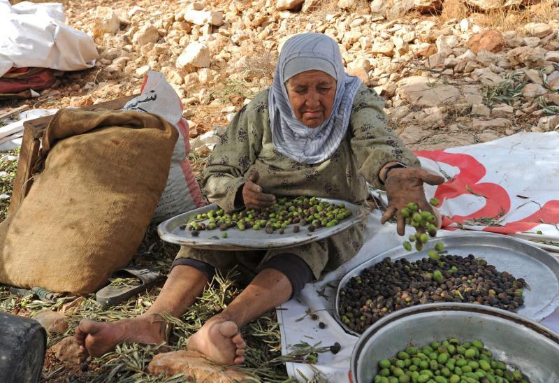 2) Пожилая палестинка сортирует оливки во время ежегодного сбора урожая в оливковых рощах в местечке Сильвад на Западном берегу. (UPI/Debbie Hill)